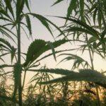 Cannabis & Hemp Advisory